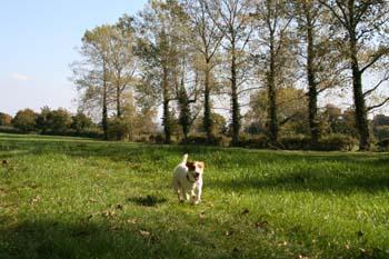 A small dog running through a field