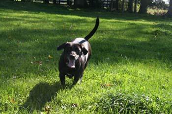 A black dog running in a sunny field.