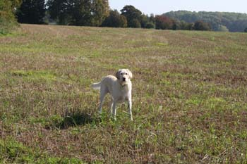 A white dog standing in a field.