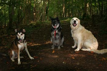 A group of dogs sitting in the woods.